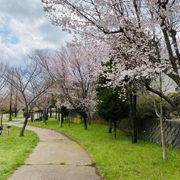 桜のご様子 @函館市富岡町