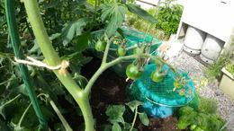 我が家の家庭菜園再び リフォームショップ 函館